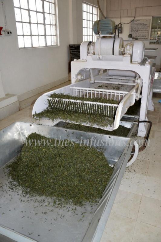 Tri des feuilles de thé