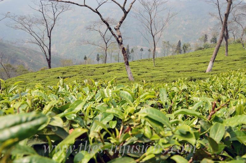 Theiers à Darjeeling
