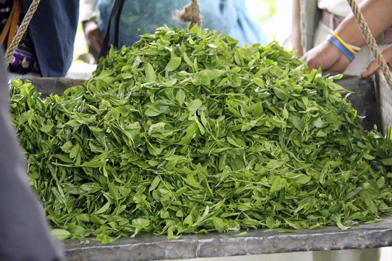 produit cueillette thé